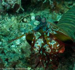 BD-090926-Lembeh-9264011-Odontodactylus-scyllarus-(Linnaeus.-1758)-[Reef-odontodactylid-mantis-shrimp].jpg